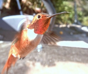 Humming bird feeding at Hummingbird feeders